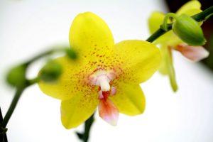 orchidée jaune