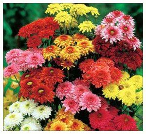 signification chrysanthèmes