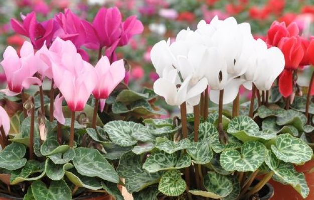 signification cyclamens