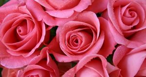 signification rose rose